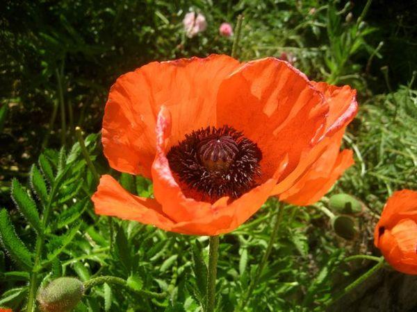 Montford AF poppy
