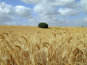 Wheat_field_sm